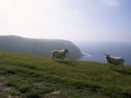 Photo: Sheep in Nova Scotia