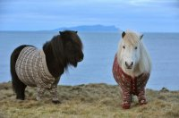 The Shetland ponies are wearing custom-made Fair Isle sweaters.